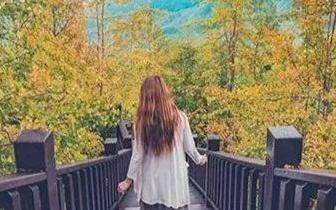 璀璨金黄银杏森林 茶园云海美景一起赏