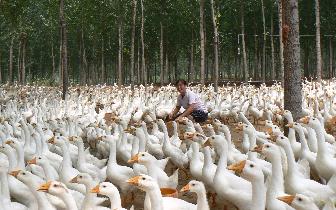 """发展""""林下经济""""助脱贫 琼中丁架坡打造鹅产业业态"""