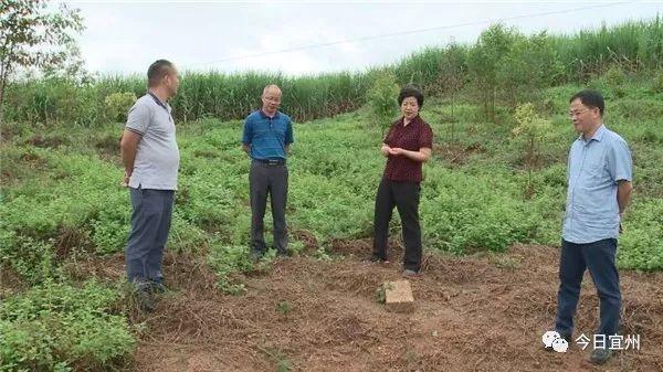 市政协主席黎丽到宜州调研油茶产业发展情况