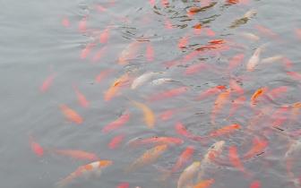 打造现代化水乡渔村 德泉金鱼产业园一期年底建成
