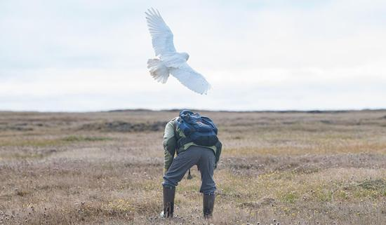 雪鸮曾是北极象征性物种 如今却已变得凤毛麟角