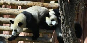国庆假期首日 长春熊猫姐妹卖萌撒欢