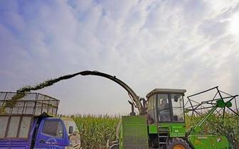 唐山:订单青贮玉米助力农民增收