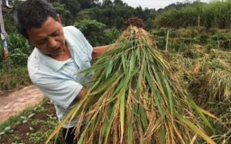 年入30万!宜宾54岁农民种地183亩,一年收稻100吨!