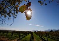 """变暖影响葡萄产量 有人担心喝不到""""葡萄酒皇后"""""""
