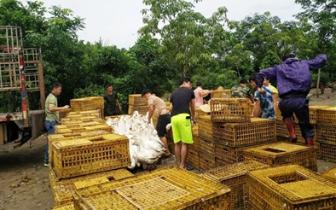 琼中因地制宜发展林下经济 养鹅成为丁架坡村热门产业
