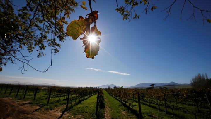 变暖影响葡萄产量 有人担心喝不到葡萄酒皇后了