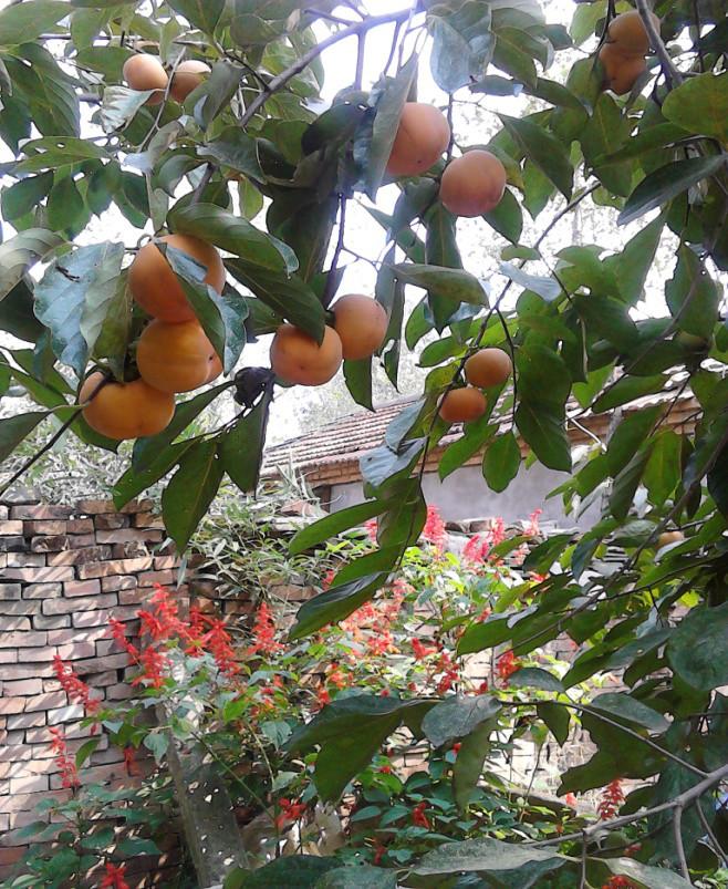 姥姥家的柿子树,枝头挂满了黄澄澄的柿子 (作者供图)