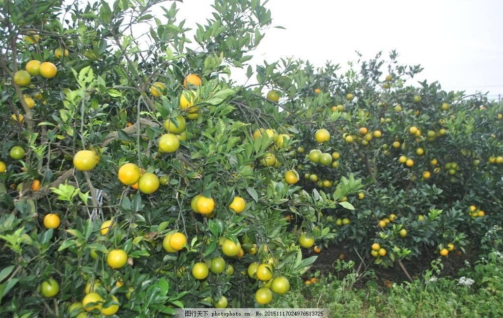 廉江现代农业技术上山下乡 物理杀虫换来果园满山香