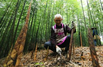 贵州赤水5万余亩大竹笋迎来收获季