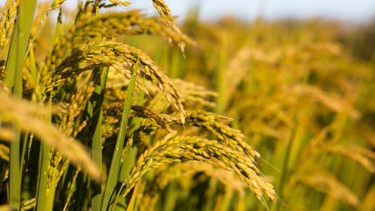 曹妃甸:水稻专家把生态农业技术送到田间地头