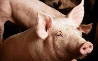 非洲|鞍山锦州盘锦发生非洲猪瘟疫情已得到