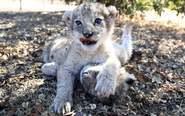 全球首对试管狮子出生