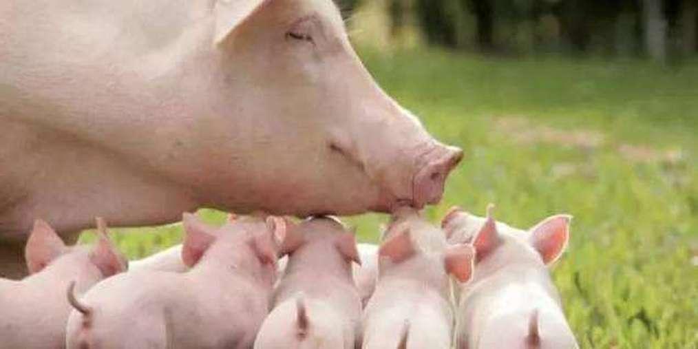 生猪|锦州盘锦发生非洲猪瘟疫情 死亡200余