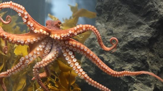 雌性章鱼产卵后会自毁,竟是保护生态的天然方式?