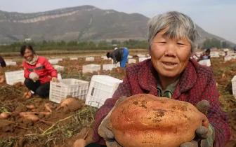 唐山地区喜获红薯丰收 村民田间忙收获