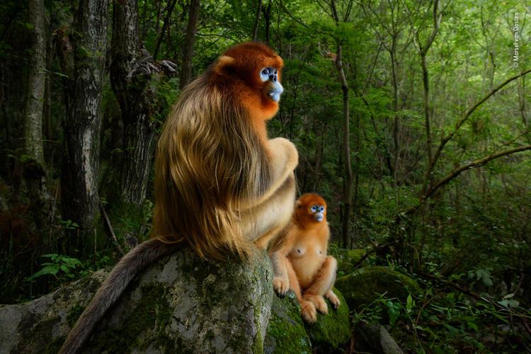 年度摄影师大赛 中国秦岭的金丝猴获得大奖