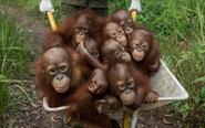印尼猩猩上幼儿园