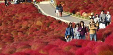 """秋日独有!日本3万地肤变色成""""红毯"""""""