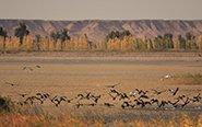 万只候鸟迁徙停歇甘肃湿地