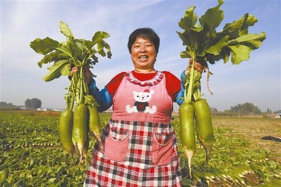 唐山地区因地制宜 萝卜种植促增收