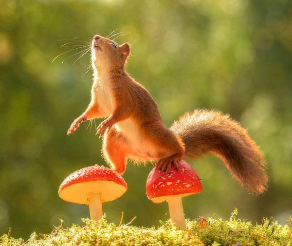 太可爱了!瑞典顽皮红松鼠 伞菌丛中欢乐蹦跳