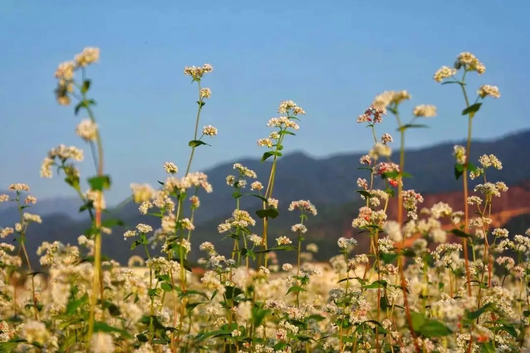 韶关近200亩荞麦花开,美如白雪皑皑的塞北天国!