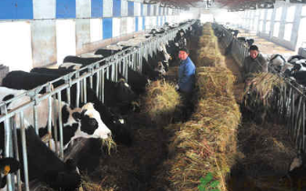 中国奶业不能净指望美国:贸易摩擦倒逼苜蓿产业