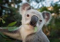 双语:澳大利亚新州考拉数量锐减 或在2050年灭绝
