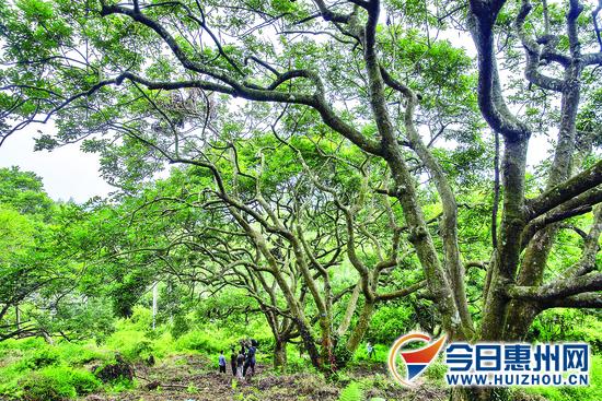 东角村乌榄园列入省古树公园建设试点 位于博罗横河
