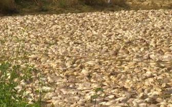 鱼塘5万斤鲶鱼离奇死亡,广东一村民损失近50万元