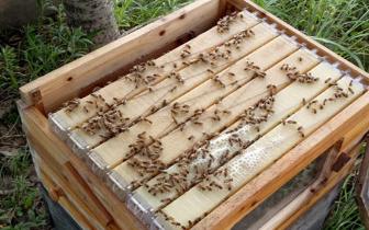 养蜂神器!巴中90后老师发明自动取蜜蜂箱,蜂蜜易流出产量增加