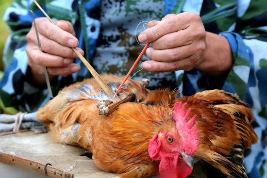 2017年9月28日,安徽巢湖市,专门给动物阉割的骟匠正在阉割一只鸡/视觉中国