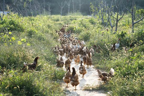2018年8月26日,山东菏泽,散养鸡,看起来很美好/视觉中国