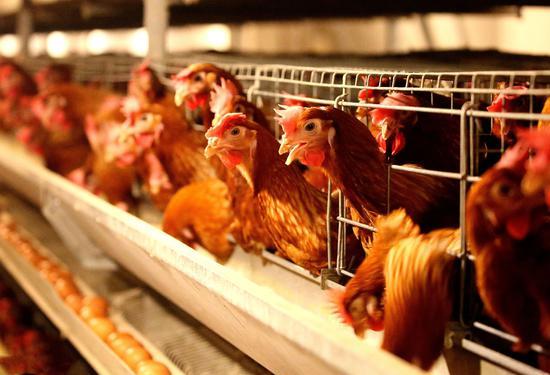 激素、抗生素、工业饲养,速生鸡真的那么可怕吗