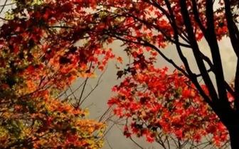 2018台湾红叶特搜 渐入赏枫秘境 看尽秋色美景