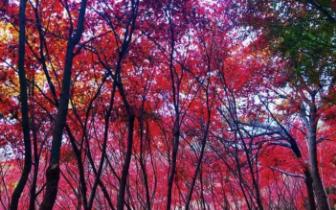 美哉巨峰!秋雨润崂山,红叶开满天