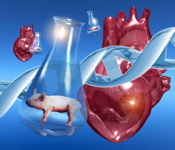 猪的心脏或将可以移植给人类 你能接受吗?