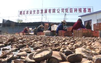 应城市天鹅镇今年第一茬花菇喜获丰收
