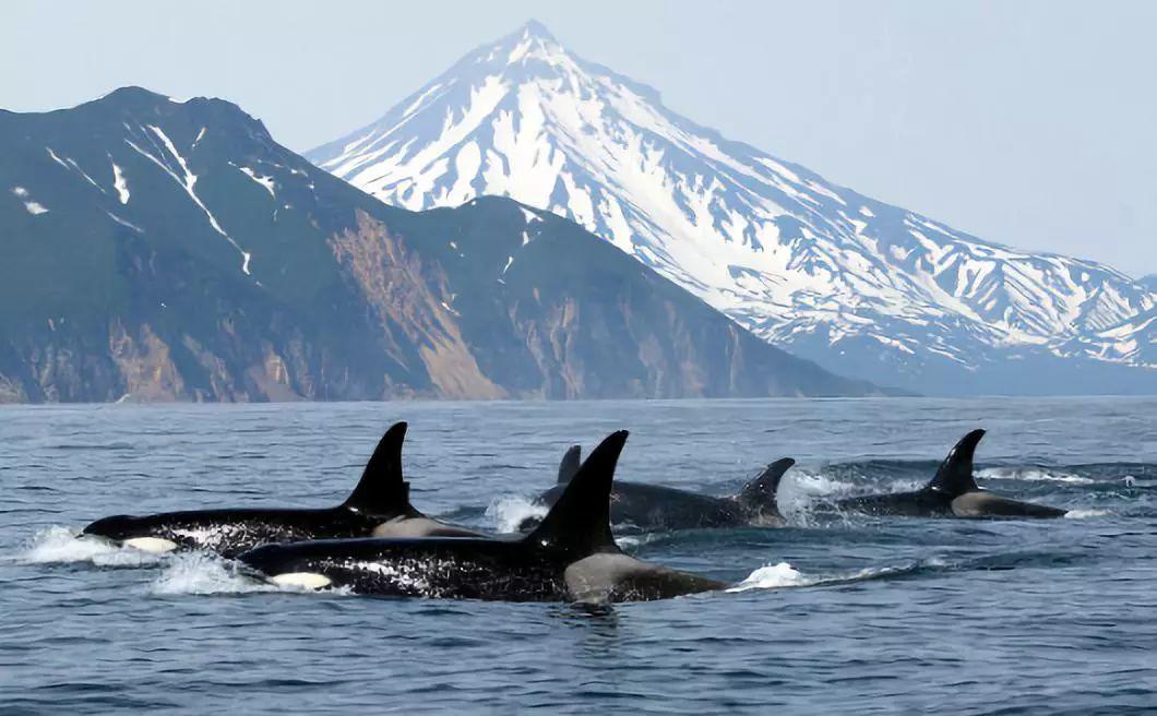 俄海港现上百个鲸鱼水槽 被困鲸鱼或将卖给水族馆