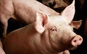 江西首现非洲猪瘟疫情 官方:只传染猪不传染人