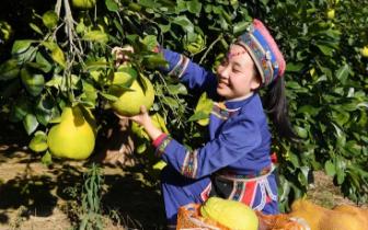 罗城因地制宜今年水果产量预计超6万吨