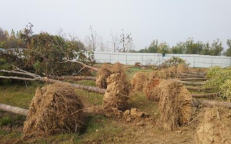 南水北调南岸400多棵树被挖 谁干的?