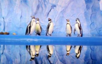 首批8只南美麦哲伦企鹅来福州啦 正式落户欧乐堡海洋世