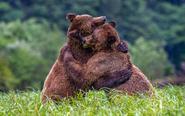 动物图集:给你一个熊抱