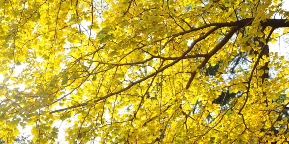 八大关里的银杏小径 初冬迎来金黄时刻
