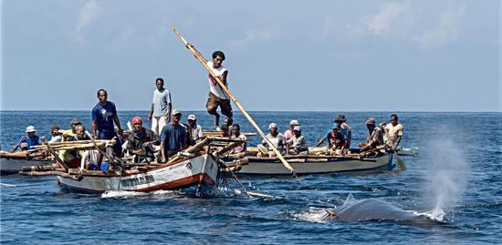印尼捕鲸部落:一只鱼叉捕数十吨的鲸鱼