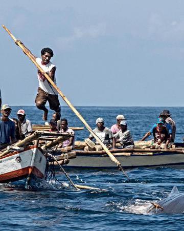 靠小木船和竹鱼叉 印尼部落捕鲸鱼