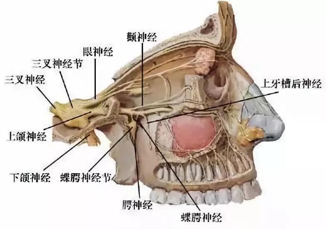 蝶腭神经节分支示意图
