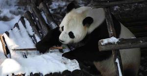 大熊猫思嘉和佑佑迎来了又一个雪季